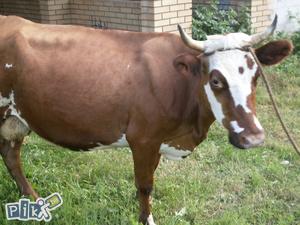 ZAVRŠENO] Krava muzara