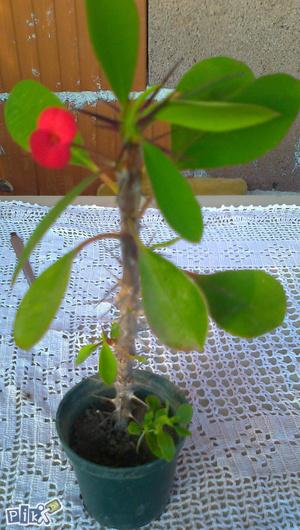 Cvijeće Hristov Trn