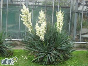 Sadnice ukrasne palme yucca flaccida