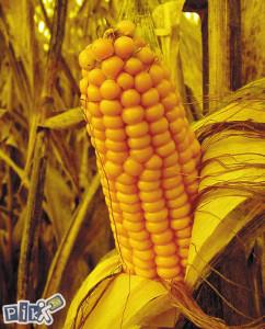 Kukuruz u zrnu kukuruz